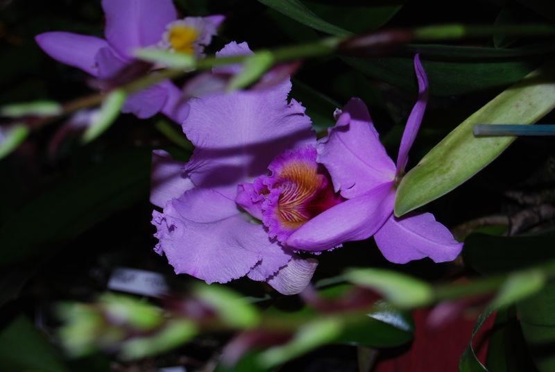 orchidées 2010 047