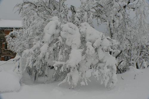2008 12 18 Un tas de neige sur des branches de prunier