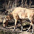 <b>Antilope</b> Nilgaut