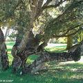 Chêne liège • Quercus suber • Famille des Fagaceae