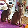 Abyssins d'Abystyle