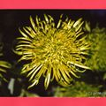 Chrysanthème Schameroc