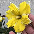 Des narcisses à fleurs doubles très gracieuses...