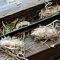 Cocons et larves d' Isodontia mexicana avec réserves alimentaires