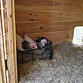 Hens at work