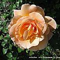 roses mamy 2017 004