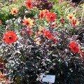 Dahlia 'Scarlet' au milieu des roses