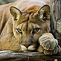 <b>Cougar</b> time.
