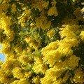Mimosa d'hiver = acacia dealbata pas de doute!