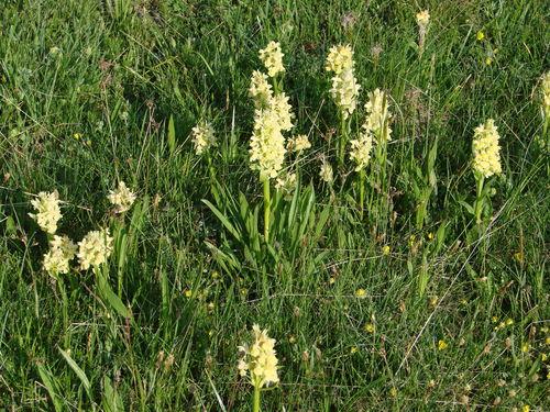 2008 05 23 Des fleurs d'Orchidées sauvage près du Mont Mézenc