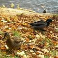 automne canards