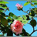 Rose et bouton 2304152