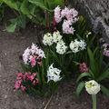 2009 04 25 Narcisses en fleurs