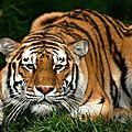 tigre-3540