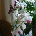 ORCHIDEE 42 BOUTONS