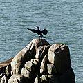 Cormoran sachant sécher malgré le vent