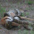 Python d'Afrique Australe