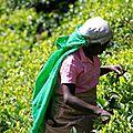 Cueilleuse Tamoule - champs de thé - Haputale