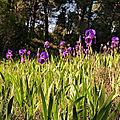 Balade violette