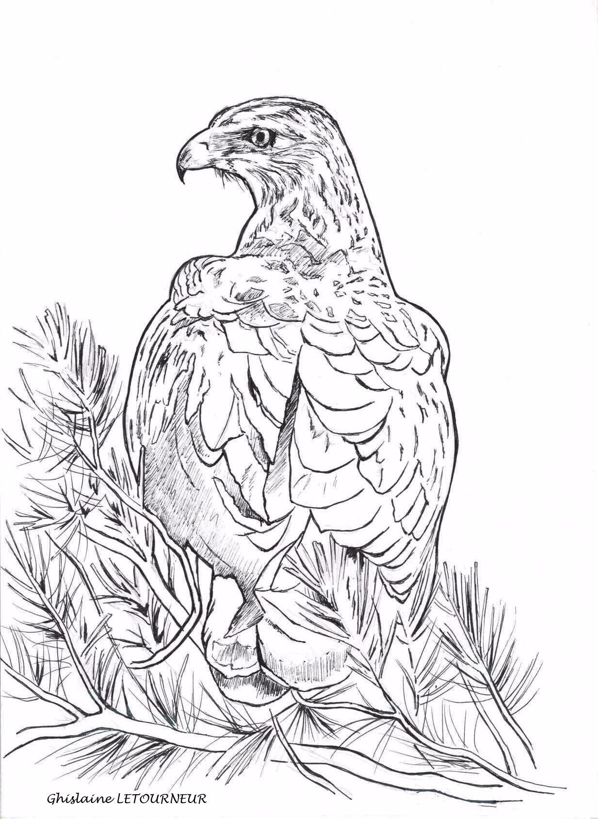 Coloriage aigle de bonelli dessin ghislaine letourneur photo de n coloriages animaux - Dessin d aigle royal ...