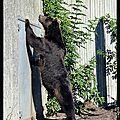 Zoo de Copenhague : l'ours