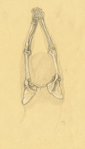 Ostéologie du bras 08 (Vue interne)