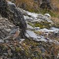 Accenteur alpin (Prunella collaris)