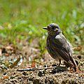 Rouge-queue noir (Phoenicurus ochruros)