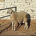 DOSSIER - Les viandes algériennes : En attendant la «labellisation», quelle viande consommer ?