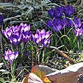 Au jardin ... les prémices du printemps