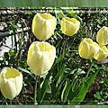 balanicole_2017_05_le printemps des tulipes_23_blanche jaune audrey1