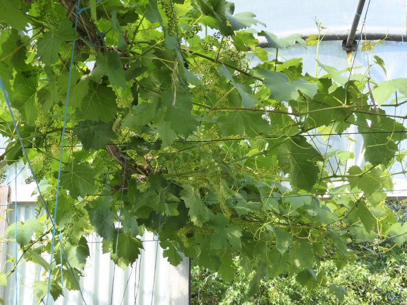 24-vigne (1)