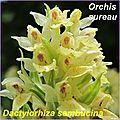 Dactylorhiza sambucina j - comp