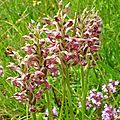 Orchis punaise