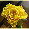 La rose du samedi #1