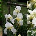 Les fleurs blanches dans mon jardin