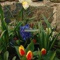 2008 04 01 Mes narcisses, tulipes et Jacinthes