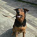Athos - magnifique croisé beauceron à adopter (34)