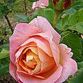 pin_rose3