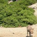 l'âne de l'île St Nicolae (Mer Egée)