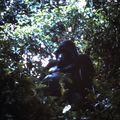 gorille 06