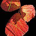 feuille rouge_modifié-1