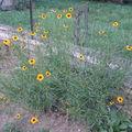 2008 09 01 Mes Coreopsis grandiflora 'Domino'