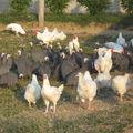 poulets et pintades