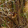 Blongios nain - Ixobrychus minutus