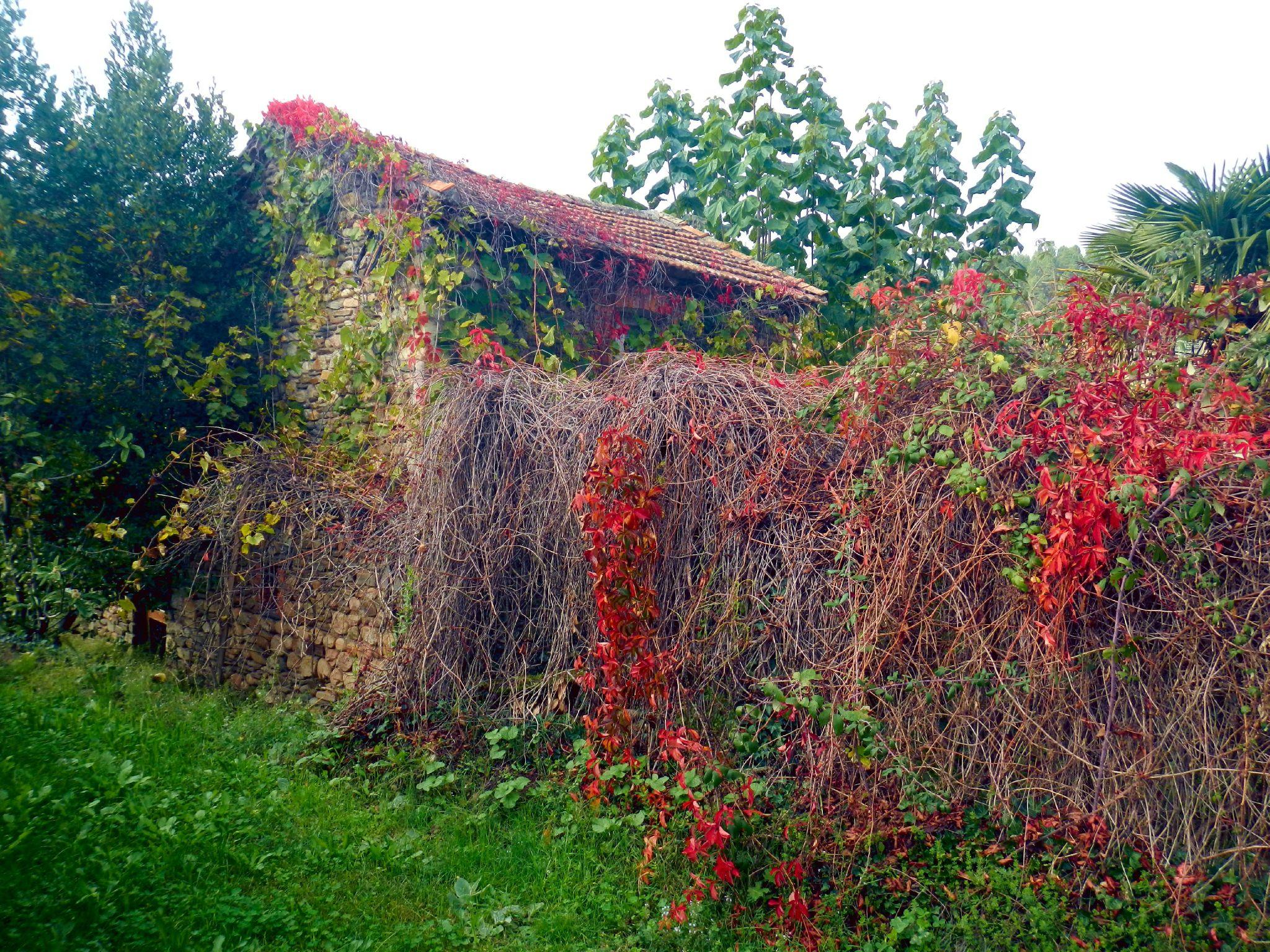cabane aux vignes rouges