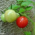 Tomates et hibiscus