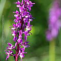 <b>Orchis</b> mâle * Early purple orchid