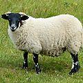 Moutons de