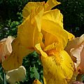Iris Sunday Sunshine